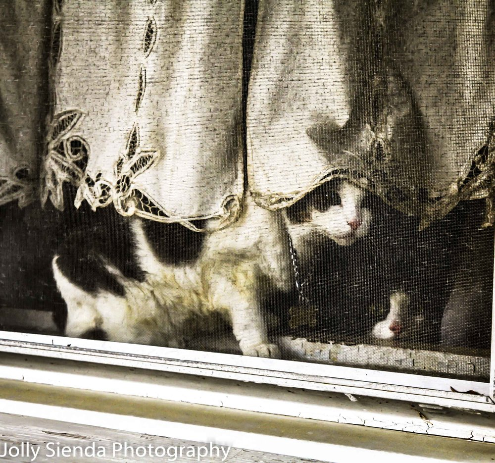 Cats peak through a screened in window with lace curtains