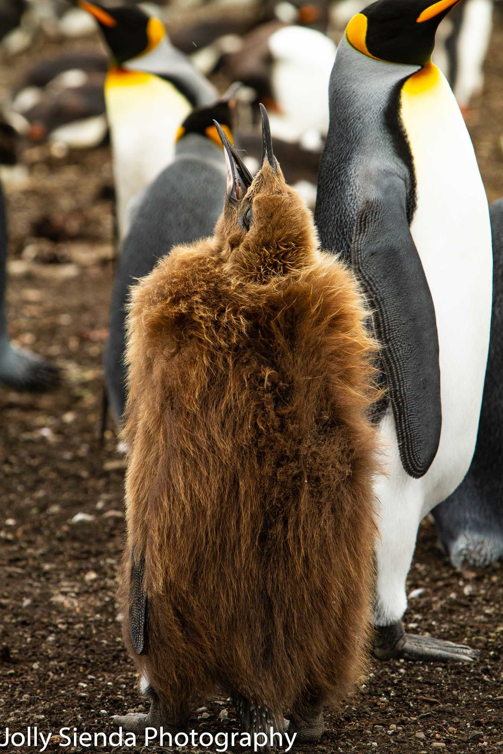 Junior one-year old King Penguin opens his mouth