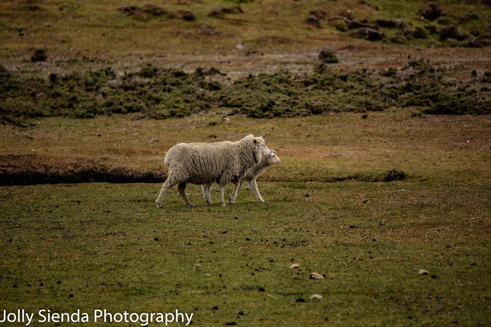 Sheep at the Bluff Cove farm