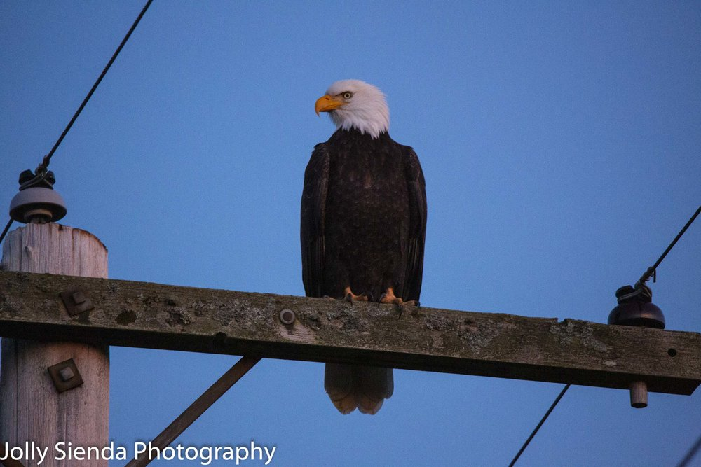 Bald Eagle perched on an electrical utility grid.