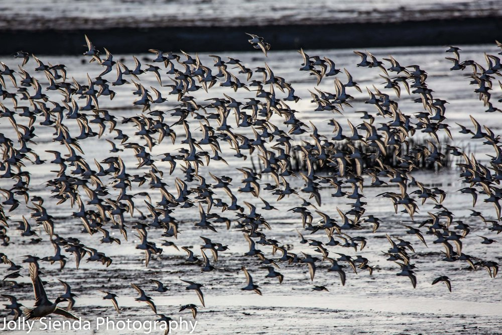 Flock of Dunlins fly over Fir Island