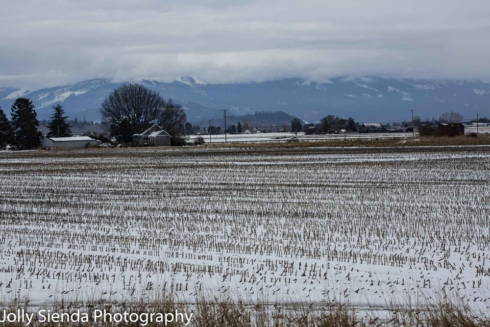 Skagit Valley farm and farmland with a blanket of snow over the reeds and vegetation.