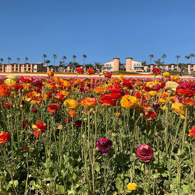 Beautiful Carlsbad flower fields #carlsbad #carlsbadowerfields#orianwellness