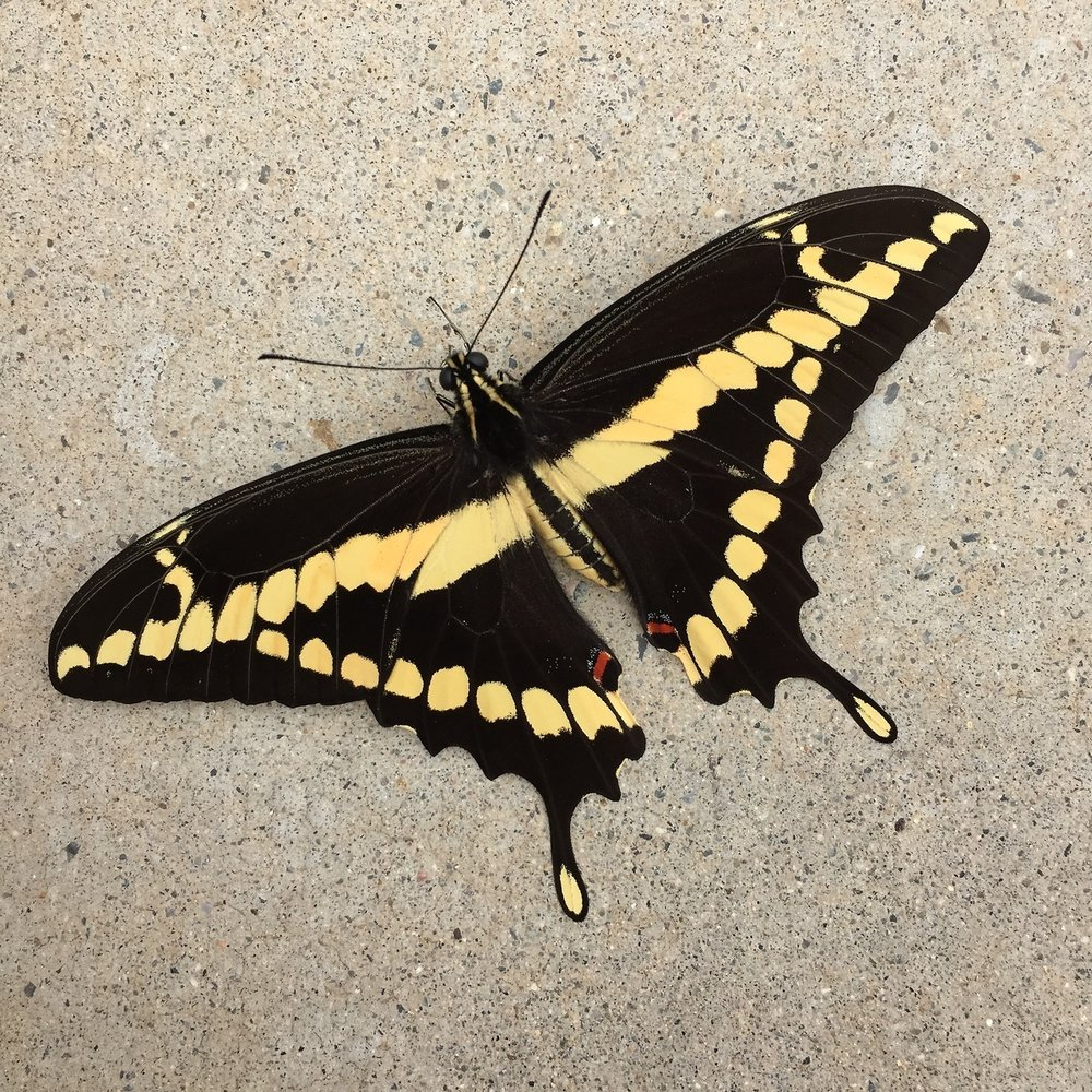 A giant swallowtail butterfly stopped for a short rest on my patio. Love seeing them flit about my citrus, flowers and veggies. Read more about giant swallowtail butterflies   here   .