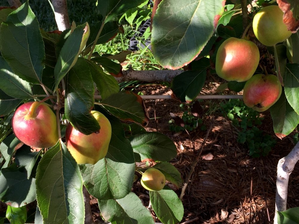 'Dorsett Golden' espaliered apples. Very low chill and very prolific.