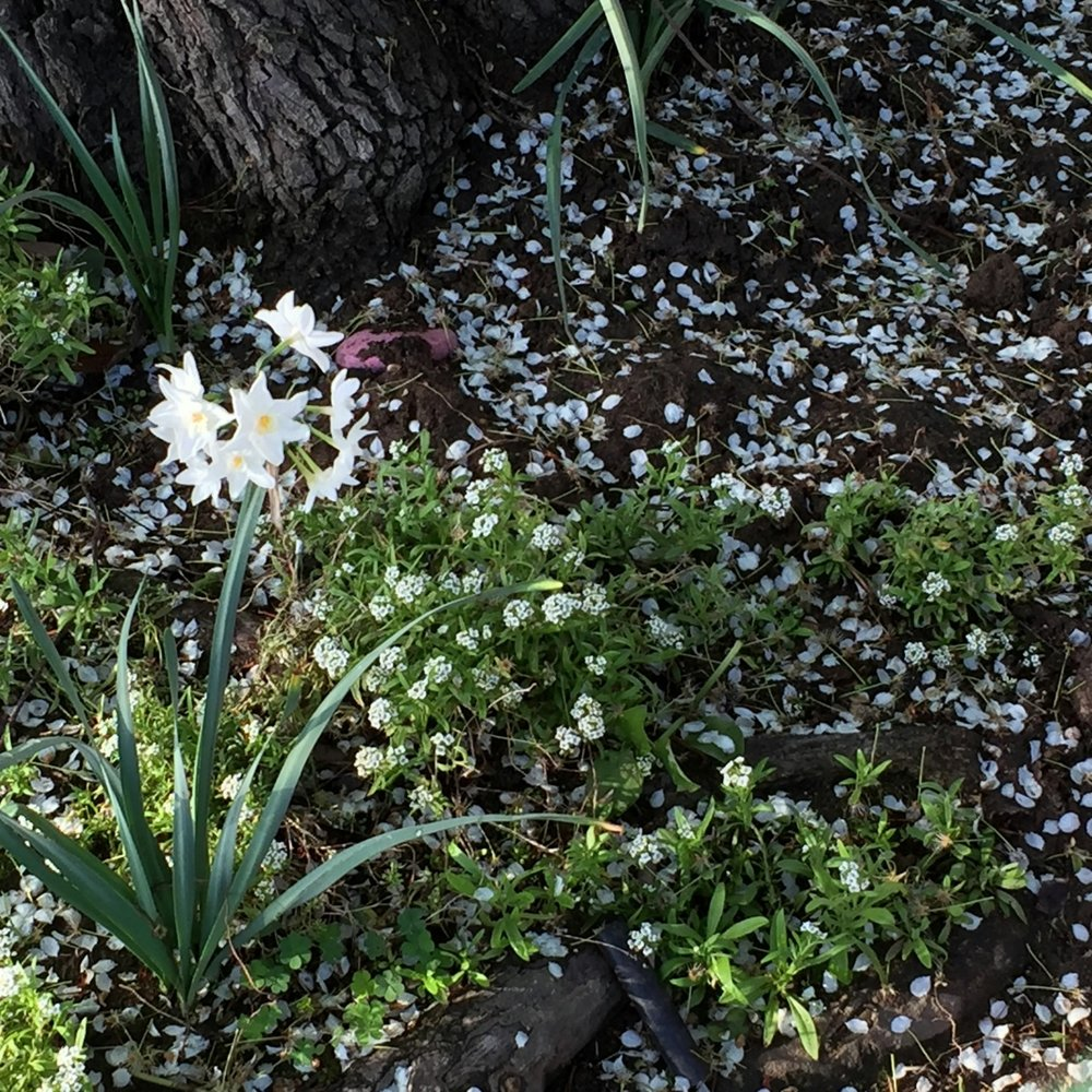 San Diego snow. Petals from ornamental pear blossoms with paperwhites and alyssum