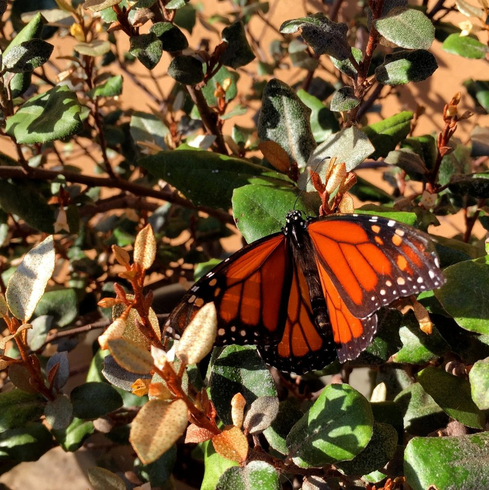October 21, 2015   My garden is aflutter with monarch and swallowtail butterflies. Almost every time I look out a window during the day I see butterflies.  The monarchs prefer the milkweeds that freely self-sow around my garden. Swallowtails seem to like the zinnias.  I delight to see walkers and children pause to watch the butterflies.