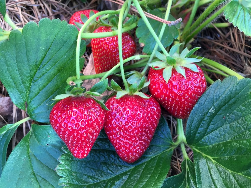 May 27, 2015   Daily delights. 'Seascape' everbearing strawberries.