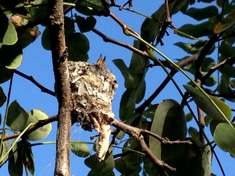 June 24, 2014    Hummingbird update. See the mother sitting on the nest  here .
