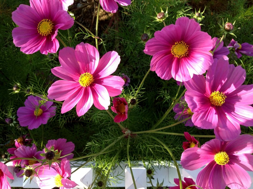 """May 2, 2014    """"There are always flowers for those who want to see them.""""   –Henri Matisse    Cosmos captured on my lunch-time walk."""