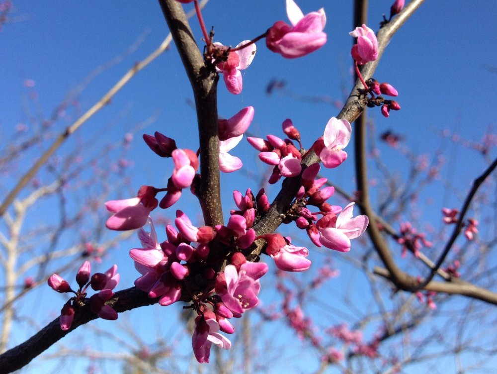 March 20, 2014    More evidence of spring in my garden.   Eastern redbud, Cercis canadensis 'Forest Pansy.'