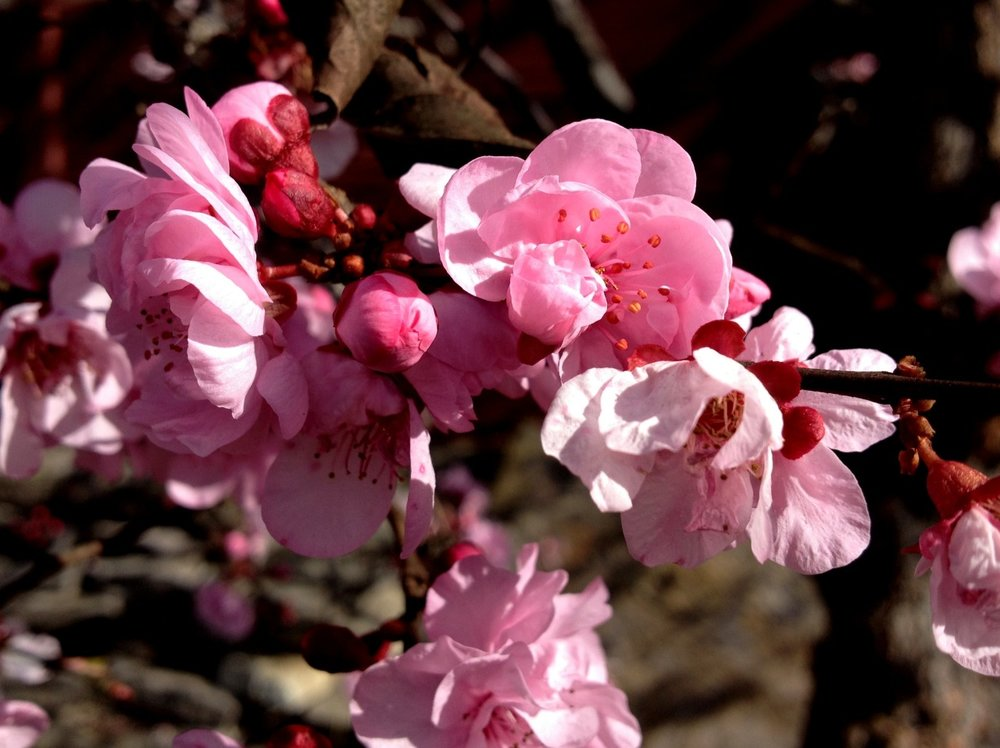 February 28, 2014    Next to the vegetable garden, the purple leaf plum trees are in full bloom. I'm expecting a massive petal fall with our rainstorm and blustery conditions. But let it rain!