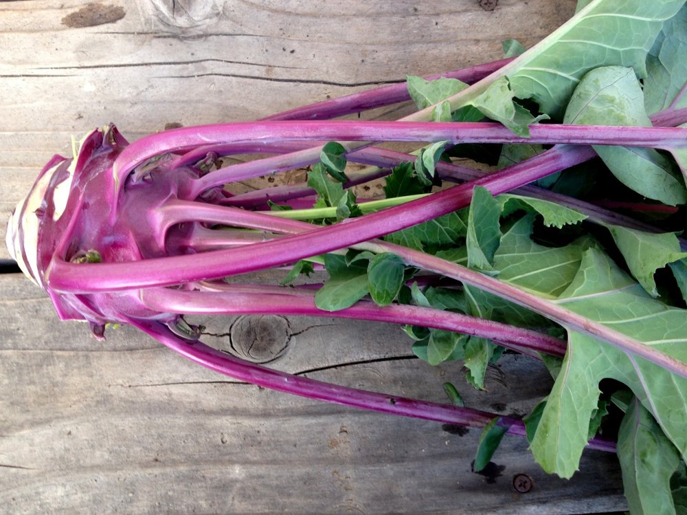 February 4, 2014    Kohlrabi 'Winter'. An easy to grow member of the cabbage clan and new to me. One of my  novelty crops  this winter.