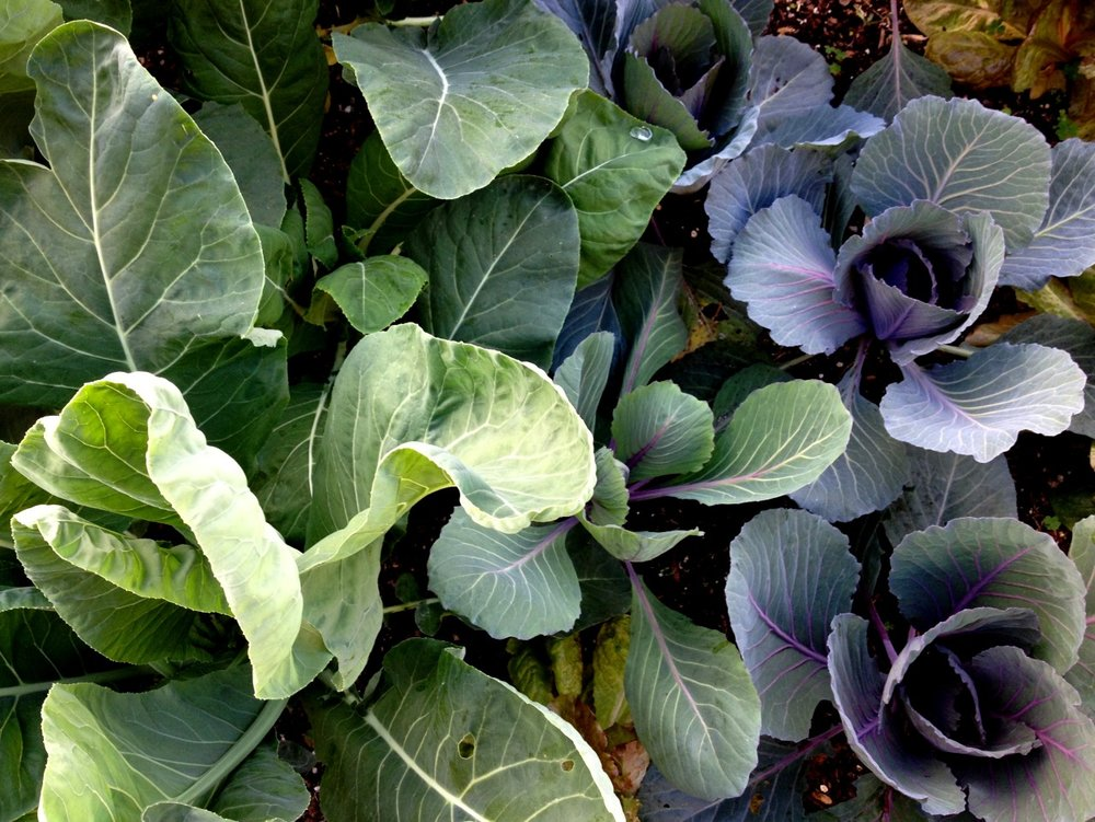 Scenes from the Winter Garden    Cauliflower and red cabbage in the morning light.