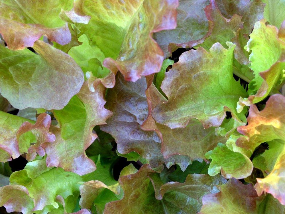 November 26, 2013    'Redina' Lettuce