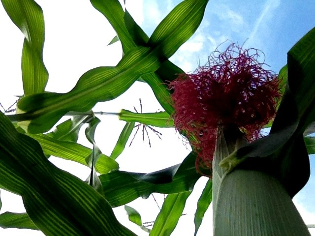 Corn and a patch of blue sky
