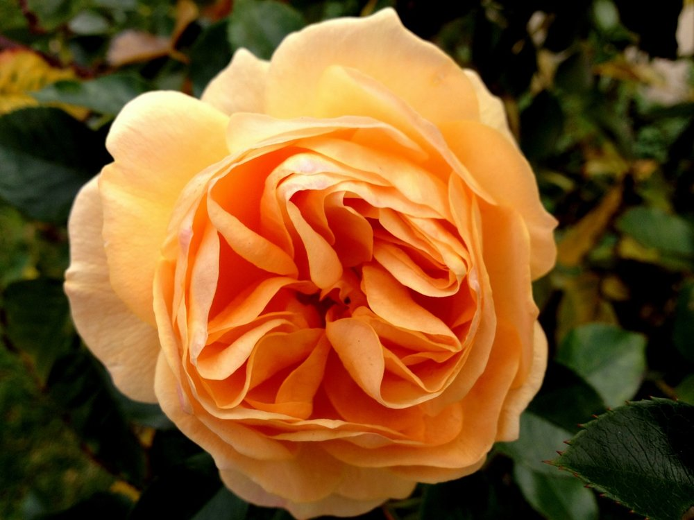 March 3, 2013    I recalled the pristine beauty of this rose as I pruned it last week. This was a rare December bloom. The usual butter yellow of 'Julia Child' turned to apricot with the chilly nights. I'm sure Julia liked apricots.