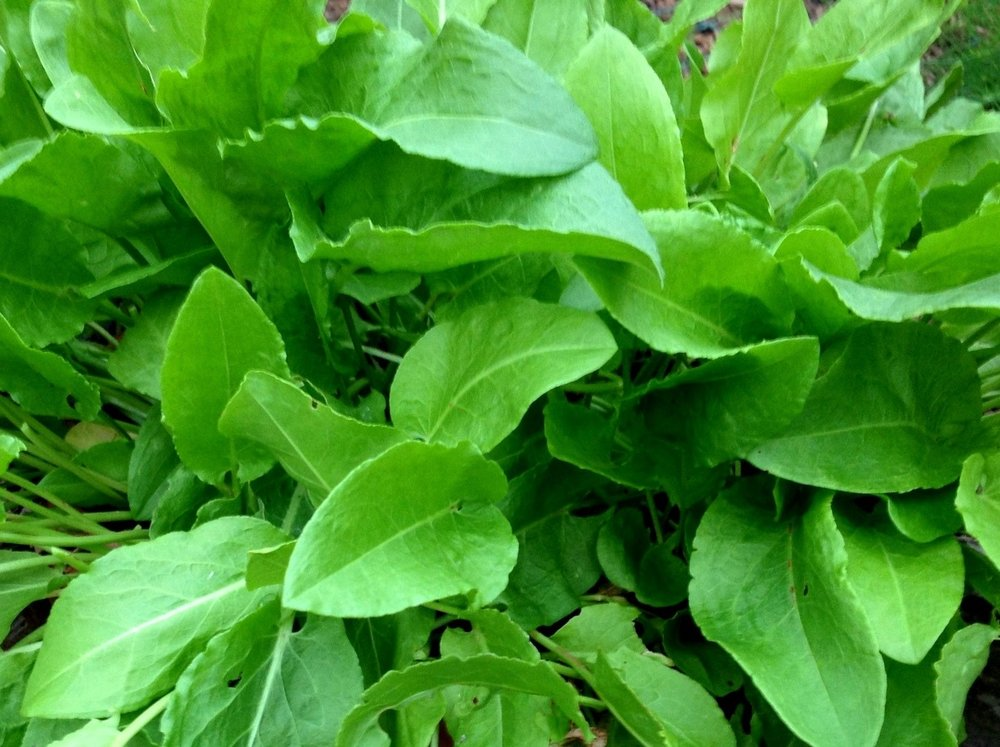 October 19, 2012    French sorrel, refreshed recently by the first rain.