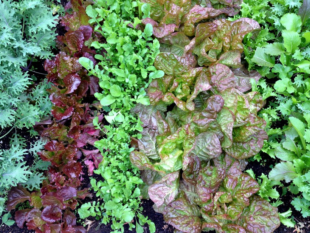 Painterly garden greens: kale, lettuces, arugula and mustard
