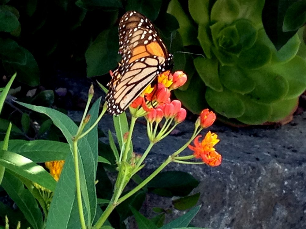 Monarch on milkweed in my flower garden