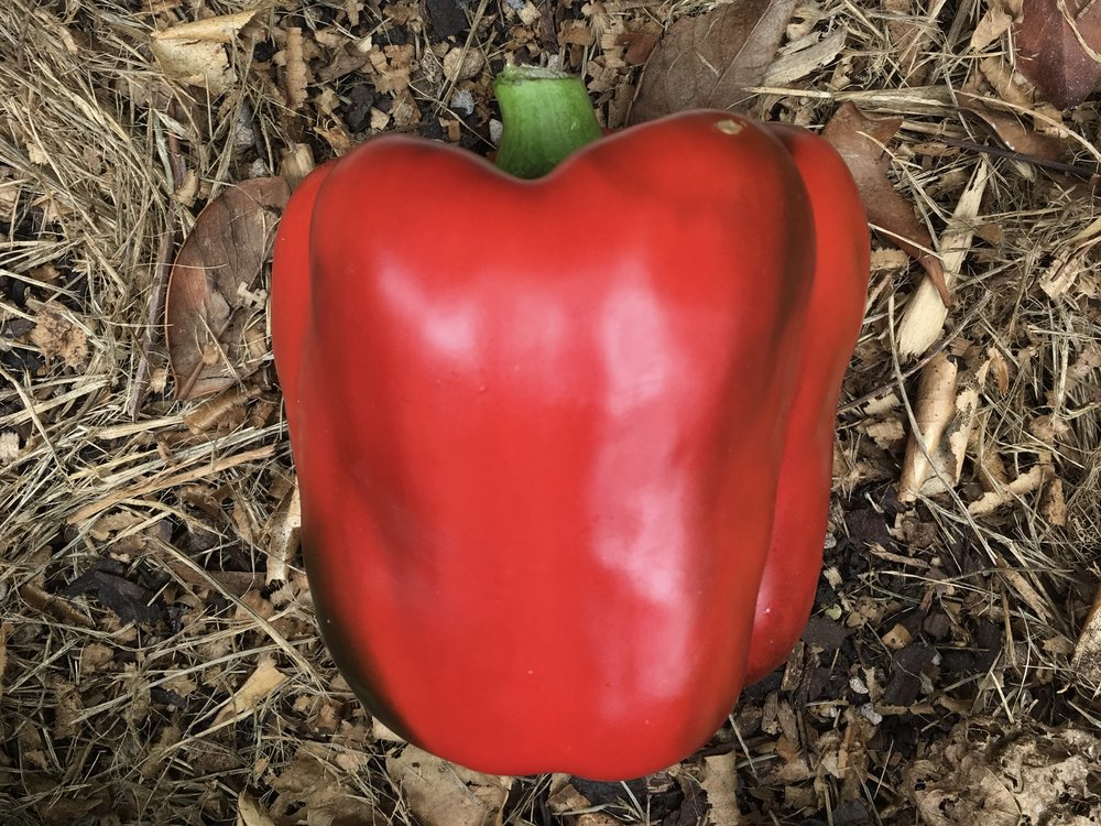 There are plenty of green peppers on my six plants but I am patient for these. Red Beauty does very well in my garden every year.