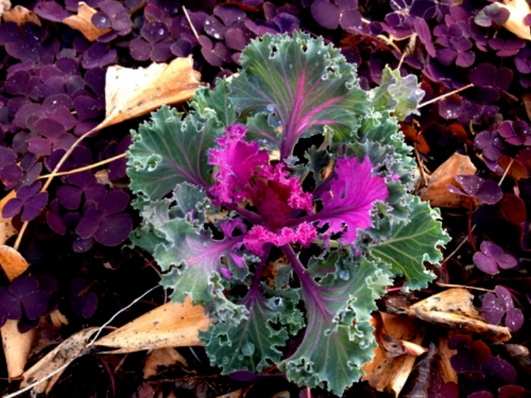 Flowering kale which is edible.