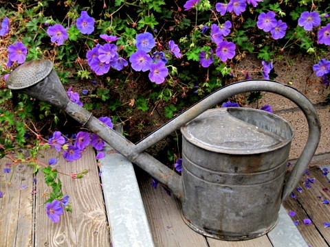 My favorite watering can and 'Rozanne' geraniums.