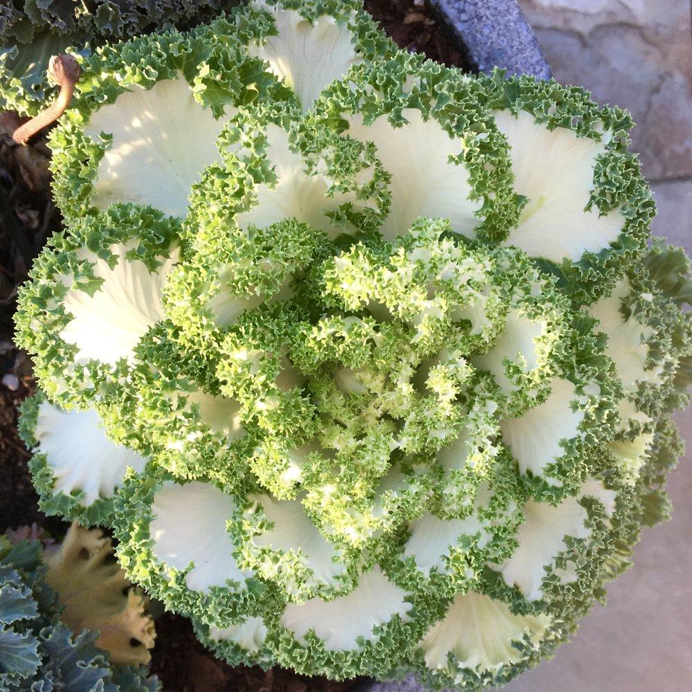 Kale in winter morning light