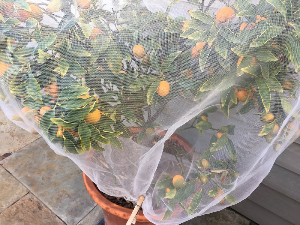 Kumquats with bird protection