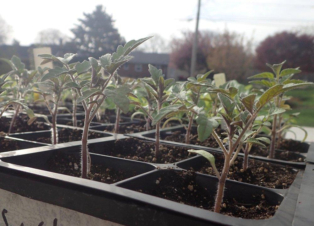 tomato+seedlings.jpg