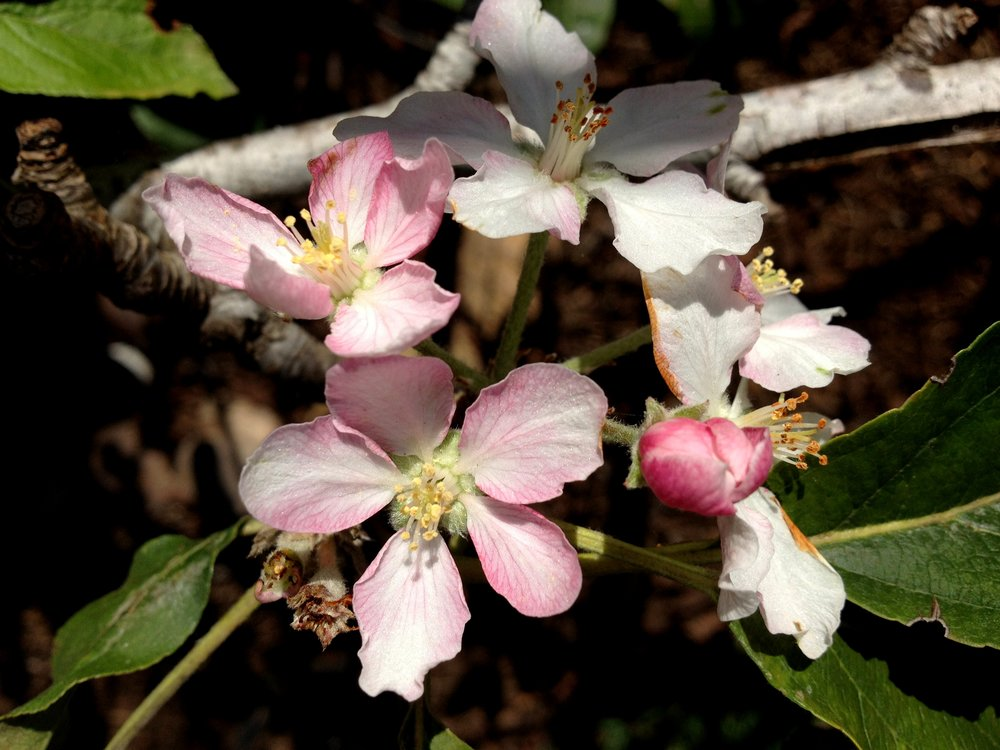 Apple blossoms in my garden in spring.