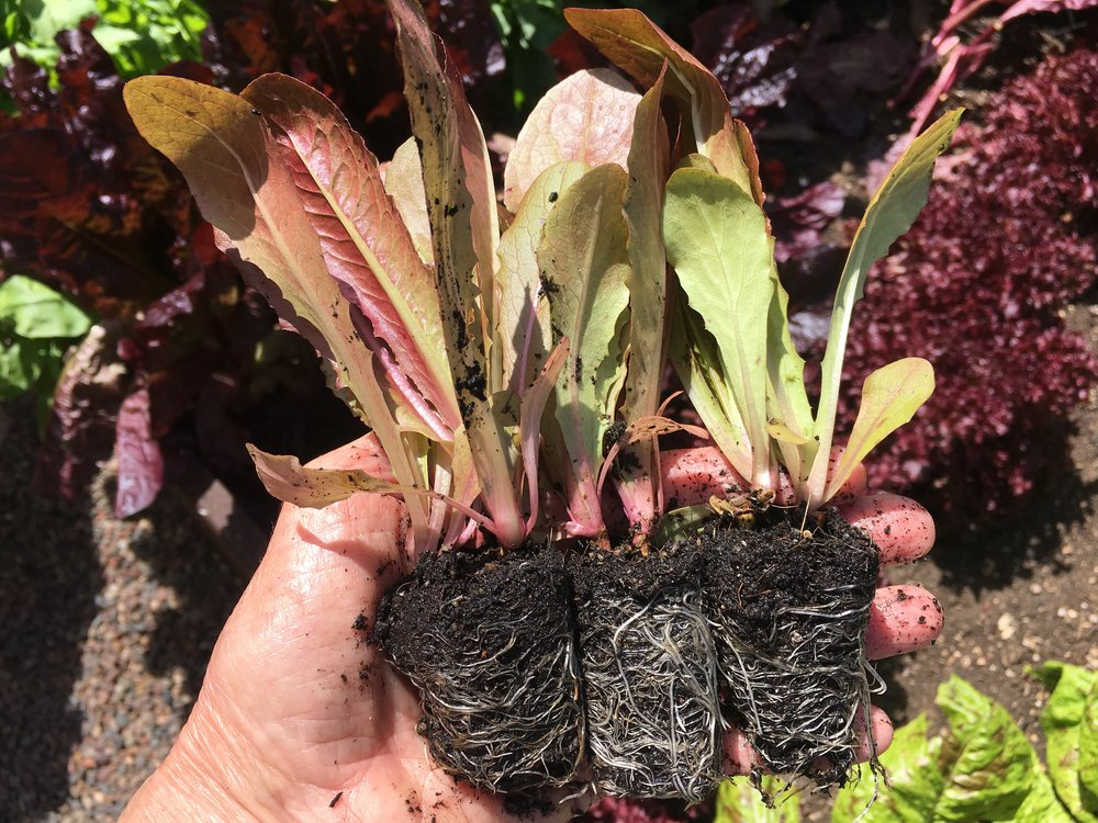 Cimarron romaine lettuce seedlings