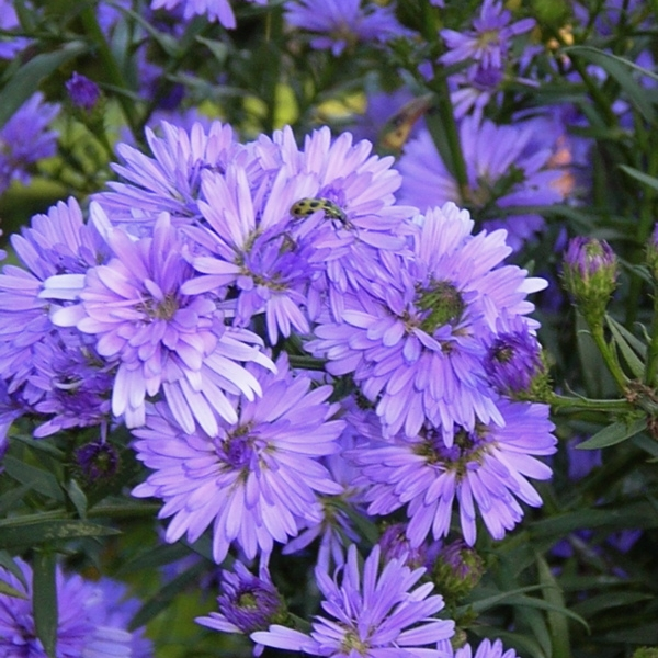 Replant Containers - REPLANT CONTAINERS AND BASKETSWITH FALL BLOOMERS LIKE ASTERS, MUMS, VIOLAS, ETC.