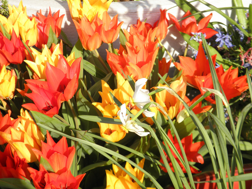 Plant Bulbs Now - for Spring Color & Big Wows!