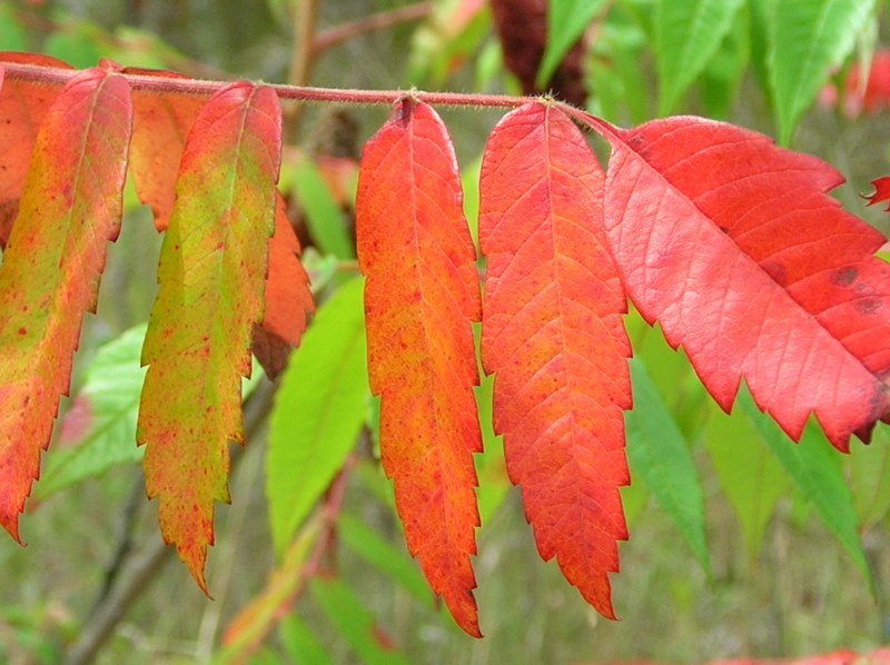 Sumacs Have Vivid Fall Foliage - LOOK FOR THEM ALONG ROADSIDES AND IN STATE PARKS