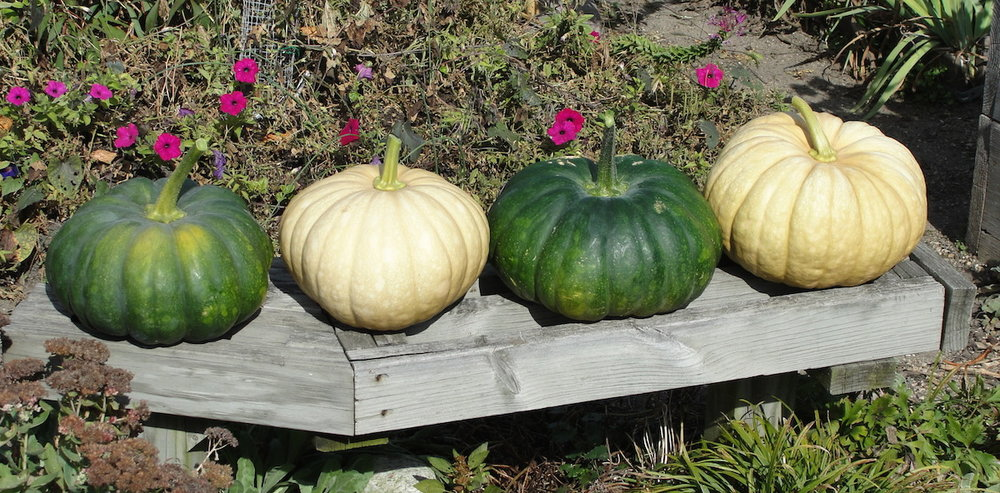 The ethnobotony of cheese pumpkins reveals indigenous trade, nutrition, and migration.