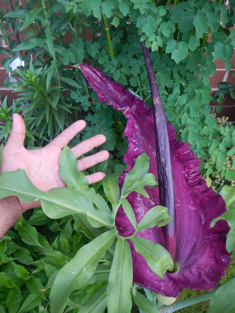 Aroid Award   2018 Mossies  Dragon Arum ( Dracunculus vulgaris )  I finally bought a Dragon Arum tuber at the 2016  Chicago Flower and Garden Show  after years of wanting one. It grew a little, then went dormant around July. There was no sign of life until last winter in the cold frame when a shoot emerged.  By spring it was thick, tall, and obviously a flowering shoot! The meter long flower stalk unfurled a massive, funky, deep maroonish purple spathe and spadix. The dragon had risen!