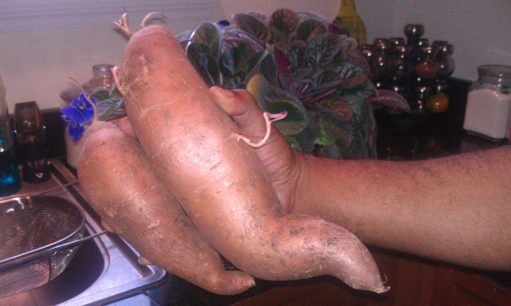 Veggie Award 2018 Mossies  Pundy's Sweet Taters ( Ipomoea batatas  cultivar)  My great grandmother, Ruth aka Pundy, gave me a cutting from her sweet potato plant in 1998. We've grown and harvested that plant every year since. We get over 75 pounds of this superfood every year! Enough to take us from fall to summer. Some years when we have hot summers, we even get purplish, morning glory-like flowers. Pundy's sweet taters combination of beauty, amount of produce, and nutrition can't be beat.