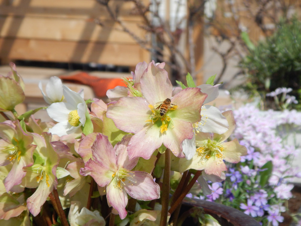 Winter Flower Award 2018 Mossies - Christmas Rose (Helleborus niger 'HGC Jacob')