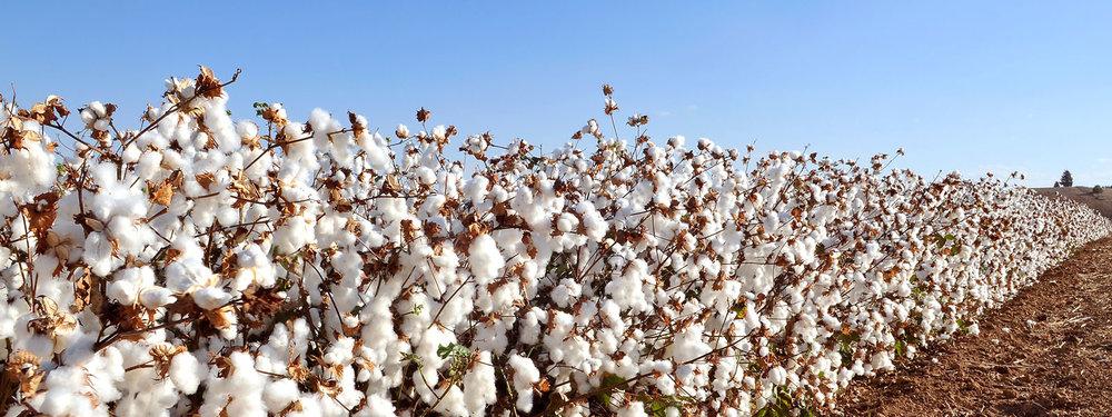 Cotton-Field-620997696_4474x2590.jpg