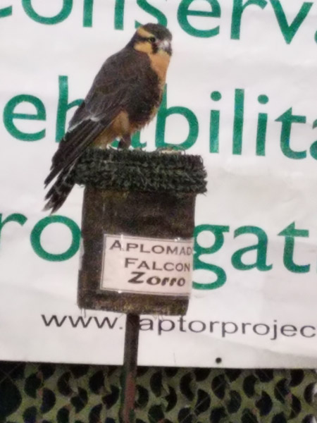 - There is a platform where aplomado falcons are nesting. This is an exciting recovery story since this bird was gone from the area for years and has only recently been reintroduced and is breeding again in south Texas. I took a picture of the captive falcon at the Expo just as I had the Crested Caracara.