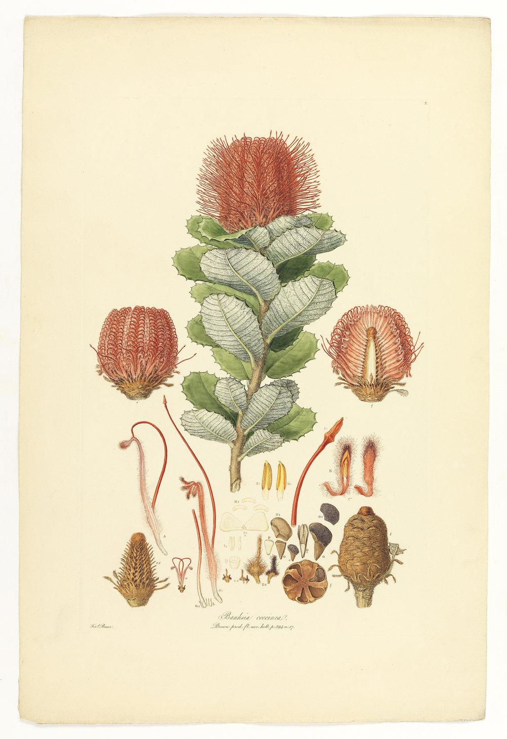 38a 15 03 2__Pterostylis_grandiflora.jpg