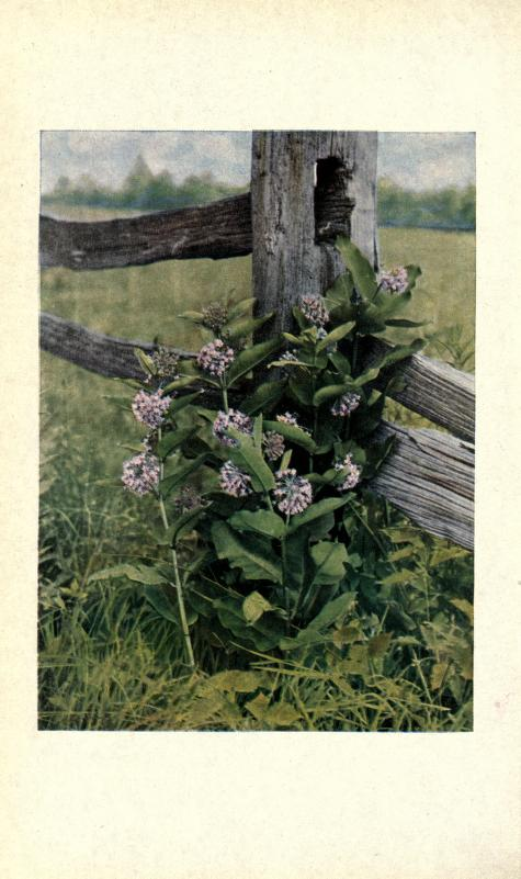 2012 10 i520 a milkweed.jpg