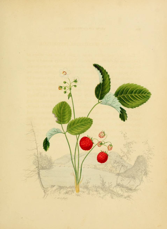 2012 10 i540 o wild strawberry.jpg