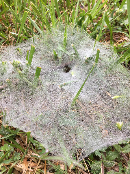 - Another benefit of the rain was the increased visibility of spider webs in the grass. Sometimes we could even see the spider hiding in the 'funnel' of the web.