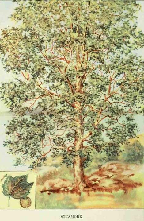 - The sycamores at Belmont are along the drive and into the forest that surrounds Belmont. They are very large trees – hard to miss in the winter because their branches look so white. They also have seed balls that are fuzzy.