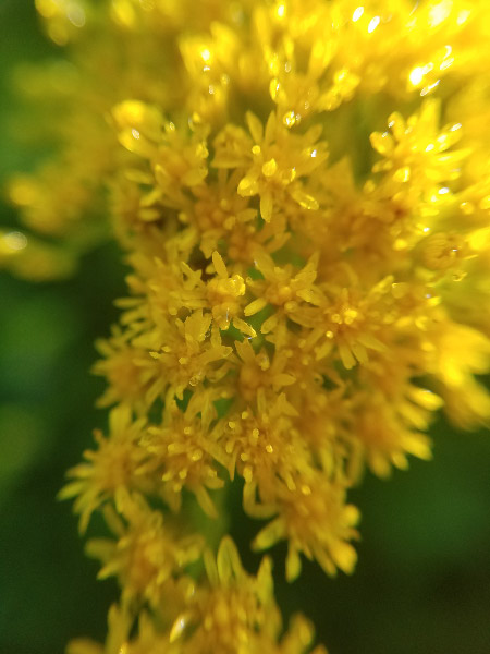 - Goldenrod is beginning to bloom. Goldenrod is one of the nectar plants for butterflies into the fall. People thought it caused their terrible fall allergies but now ragweed is said to be the primary culprit.