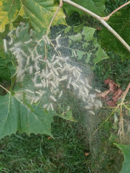 - As I walked around the house dragging the branches to the brush pile – I noticed that the sycamore had several collections of fall webworms. At least they were the native webworms and not the exotic ailanthus webworms (I saw the moth a few weeks ago at Mt. Pleasant).