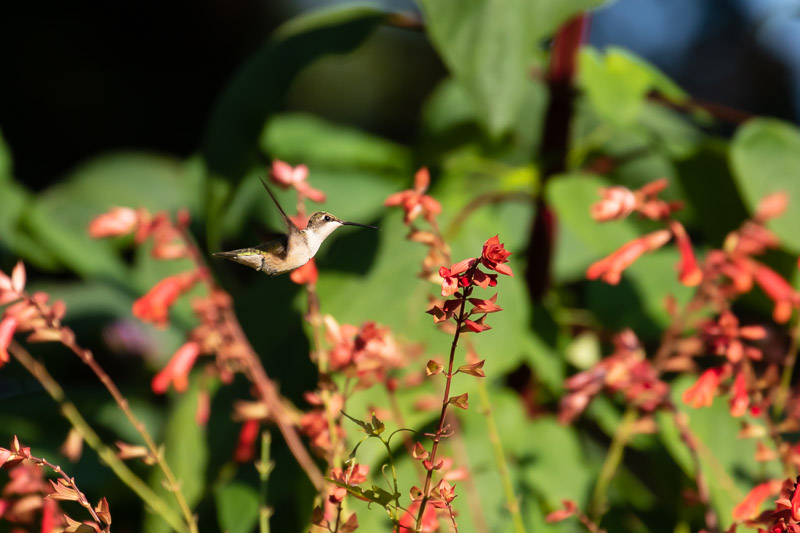 2018-08-26-Brookside hummingbirds-158.jpg