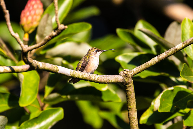 2018-08-26-Brookside hummingbirds-208.jpg
